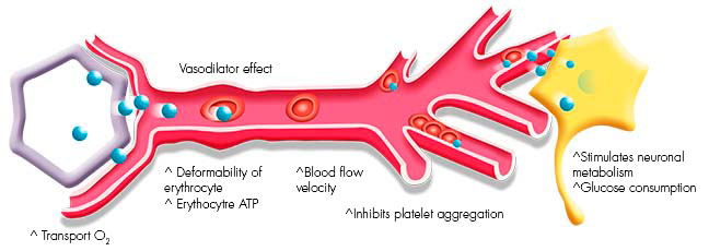 Capillary under the effects of Vinpocetine